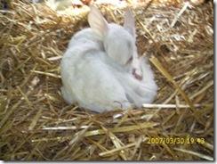 fawn curls in hay
